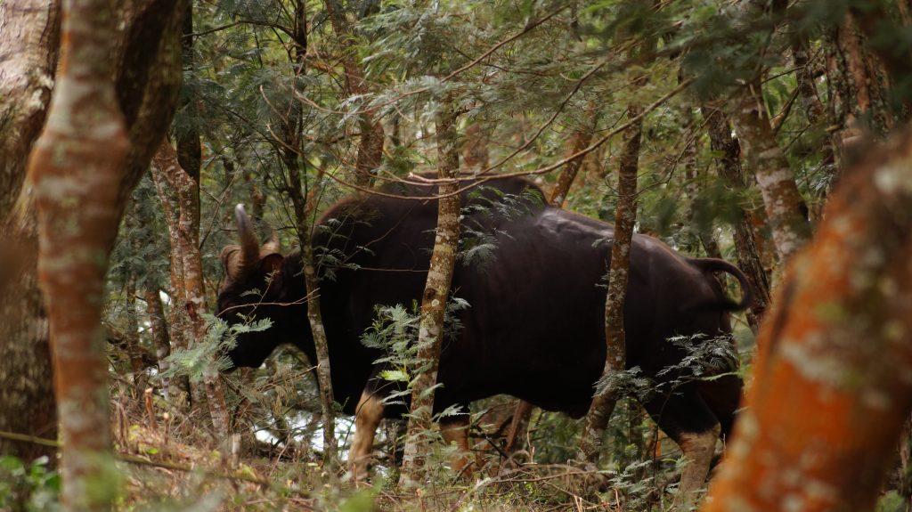 Bison in Kodaiakanal Tamil Nadu